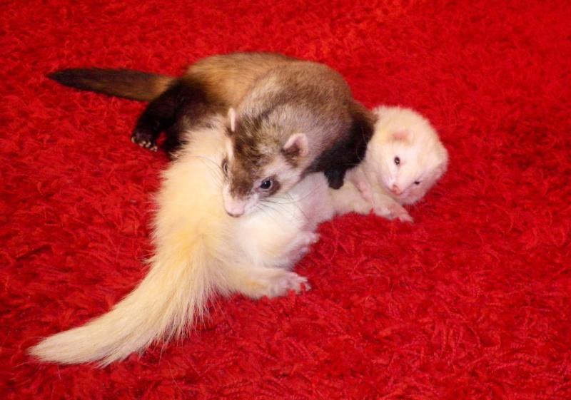 Tweety - furet mâle putoisé - adopté par Flandine Imgp2314