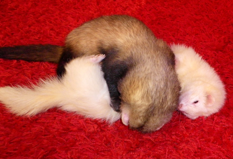Tweety - furet mâle putoisé - adopté par Flandine Imgp2315