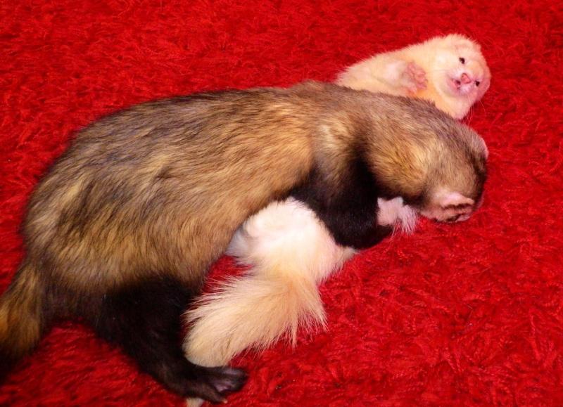 Tweety - furet mâle putoisé - adopté par Flandine Imgp2316