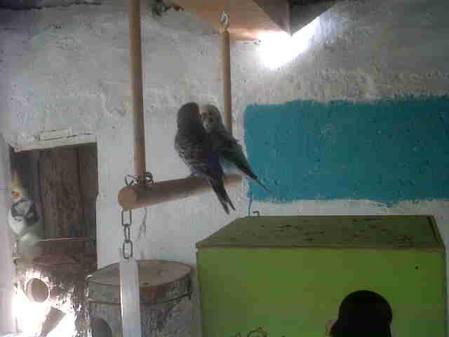 Enfin des photos de ma volière :) ! Oiseau14