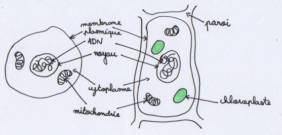 [SVT] La cellule, unité du vivant (part 1) Schzom10
