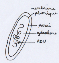 [SVT] La cellule, unité du vivant (part 1) Schzom11