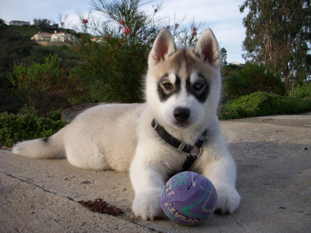Meet Casper! My new agouti puppy! 09511