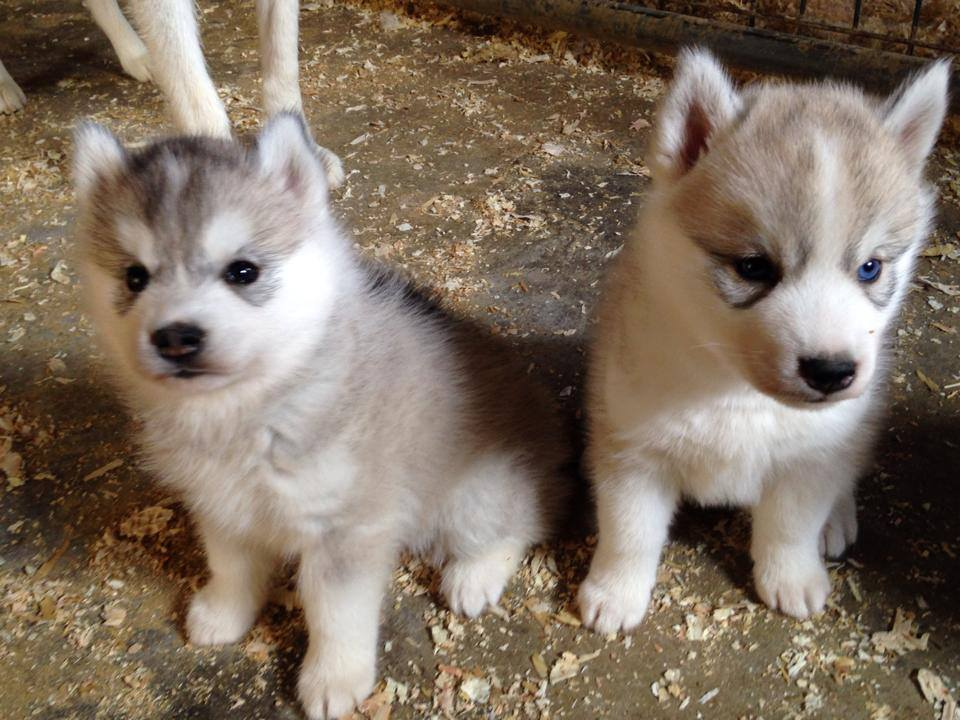Husky puppy looks different from litter? Image149