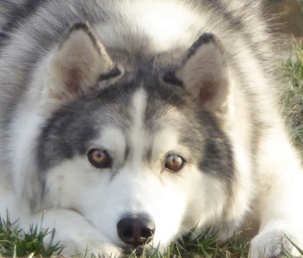 What kind of coat does my husky have? (Woolly, or plush)  Image150