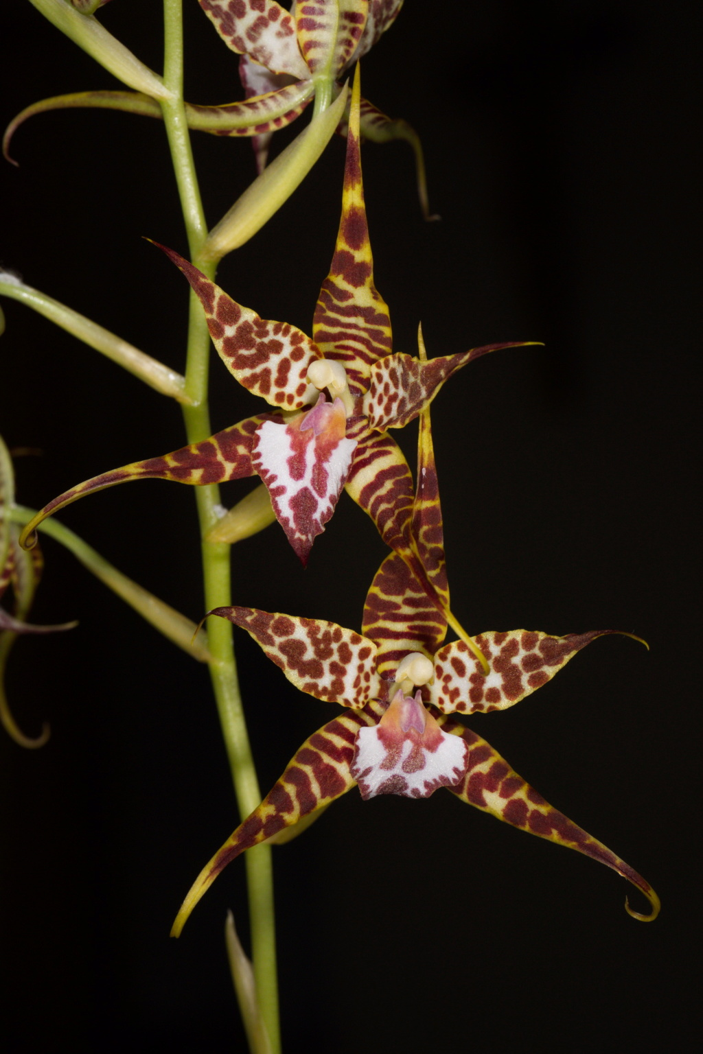 Lemboglossum cordatum Cordat12
