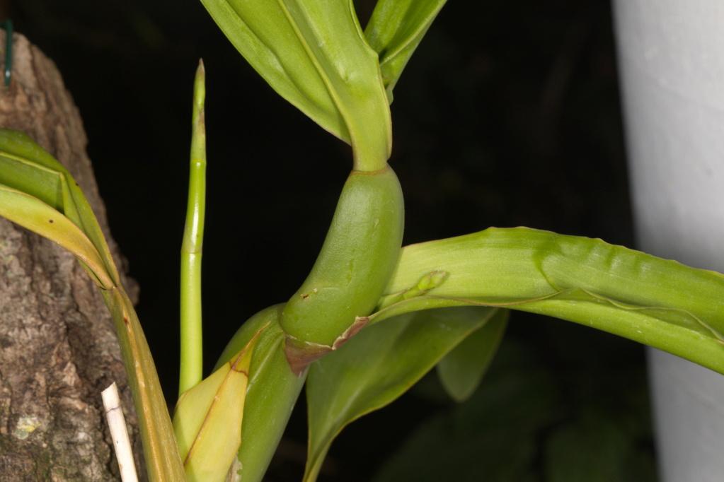 Oncidium crispum Crispu12