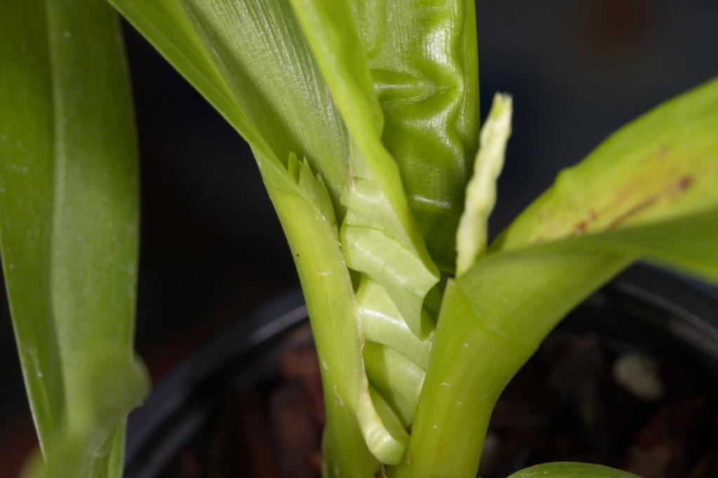 Odontoglossum naevium Crocid12