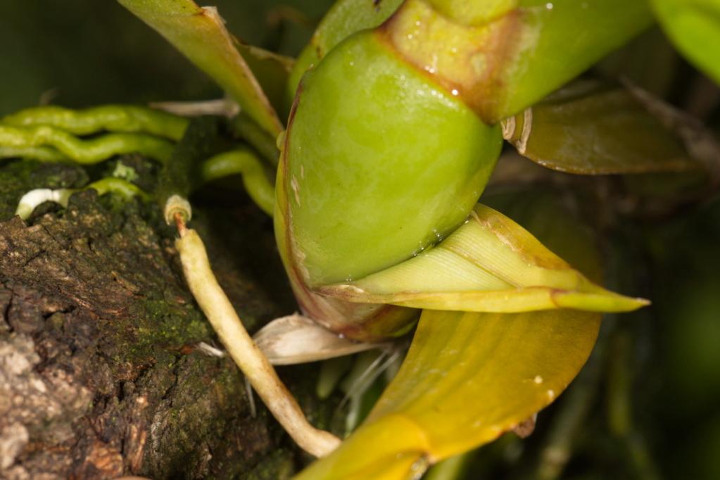 Oncidium crispum Gomesa10