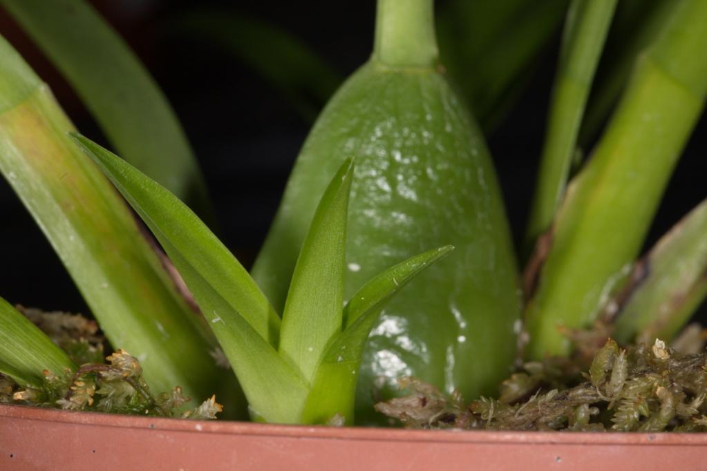 Odontoglossum naevium Naeviu10