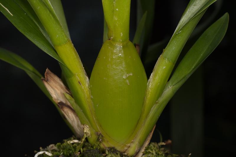 Odontoglossum harryanum und Odontoglossum wyattianum Wyatti14