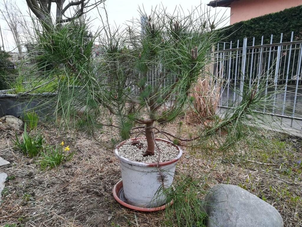 ebbene si...pinus pinea. (AGGIORNAMENTO 2019 A PAG.3) - Pagina 4 Img_2016