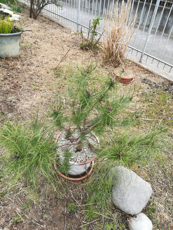ebbene si...pinus pinea. (AGGIORNAMENTO 2019 A PAG.3) - Pagina 4 Img_2017
