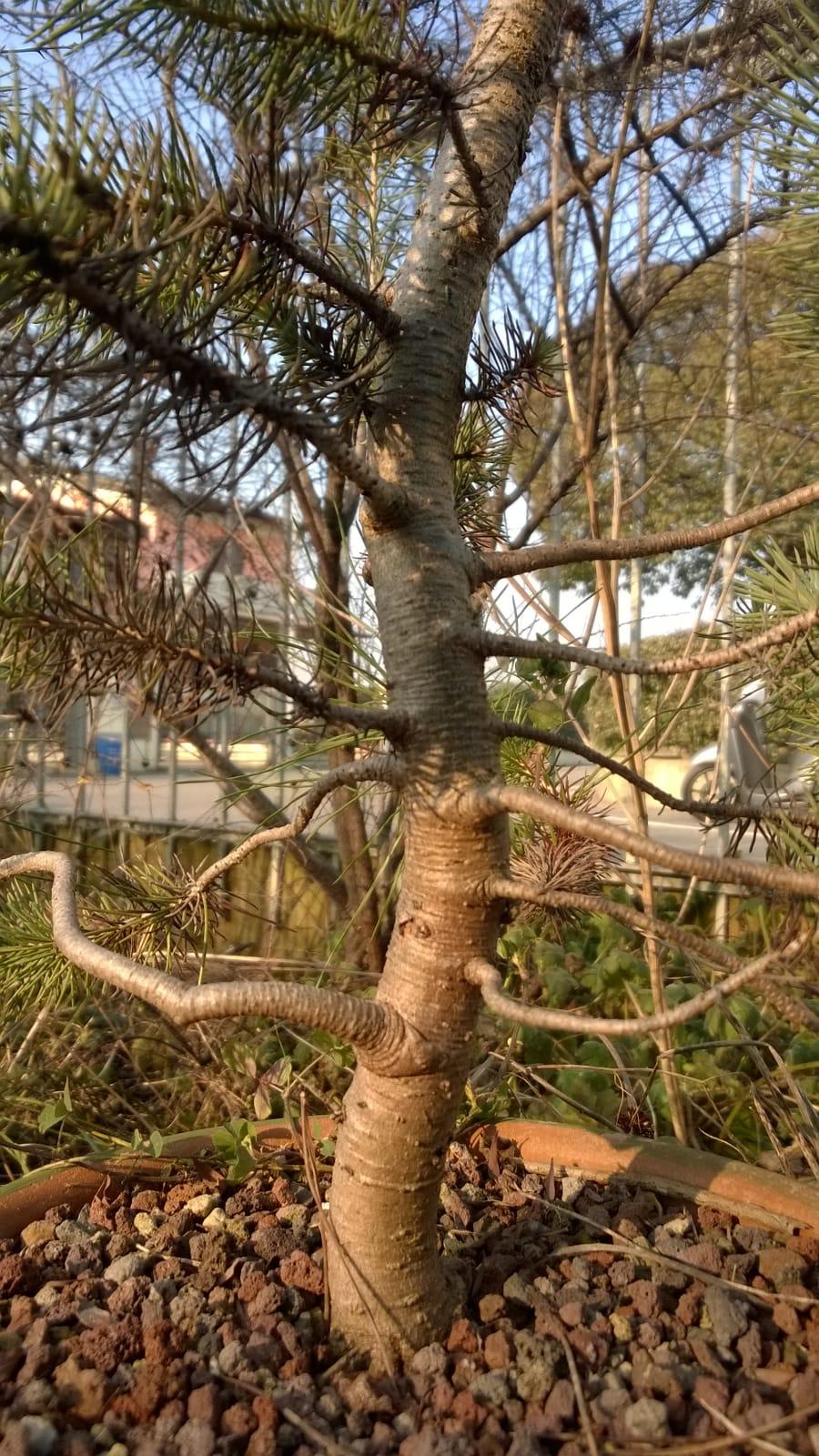 ebbene si...pinus pinea. (AGGIORNAMENTO 2019 A PAG.3) - Pagina 3 Whatsa12
