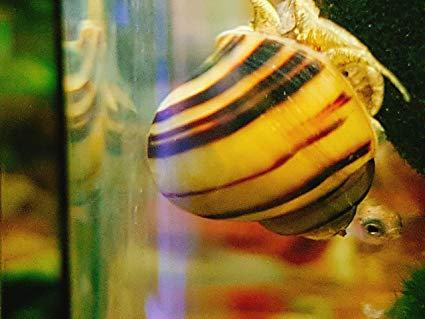 Escargots jaunes avec rayures noirs. Assole12
