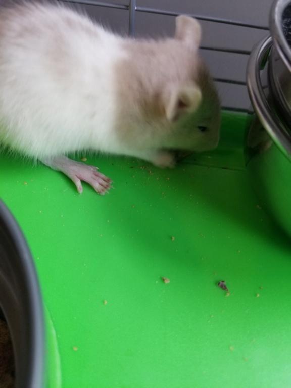 Mes 3 petites rattes! 20180714