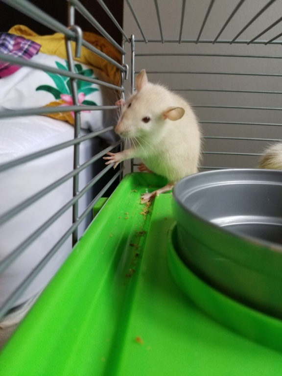 Mes 3 petites rattes! 20180715