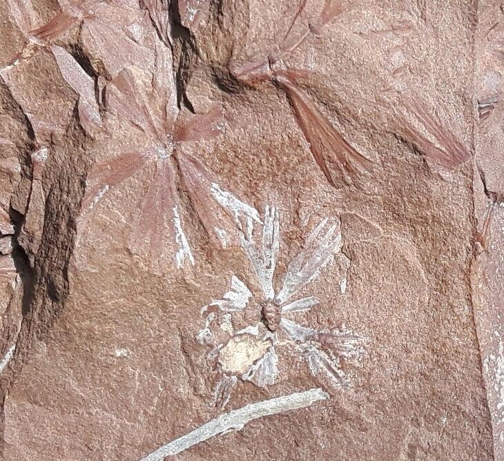 Mariopteris (sauverii) ? et Sphenophyllum (cuneifolium) ? 20180511