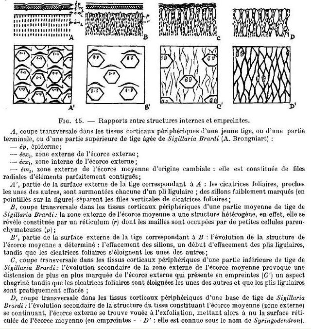 Sigillaria Brongniart ,1822. Syringodendron Sternberg,1820.  - Page 5 Lemoig10