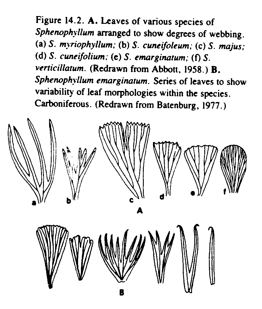 Mariopteris (sauverii) ? et Sphenophyllum (cuneifolium) ? Shenop10