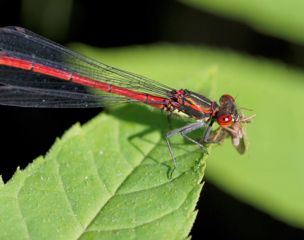 Les insectes des Yvelines  _dsc0010