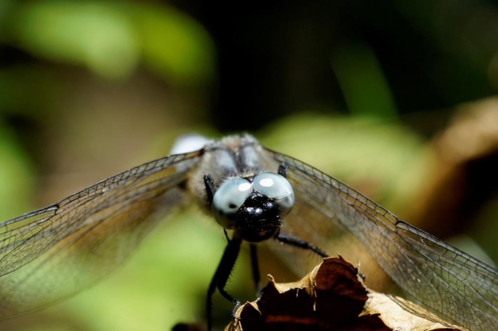 Les insectes des Yvelines  _dsc0210