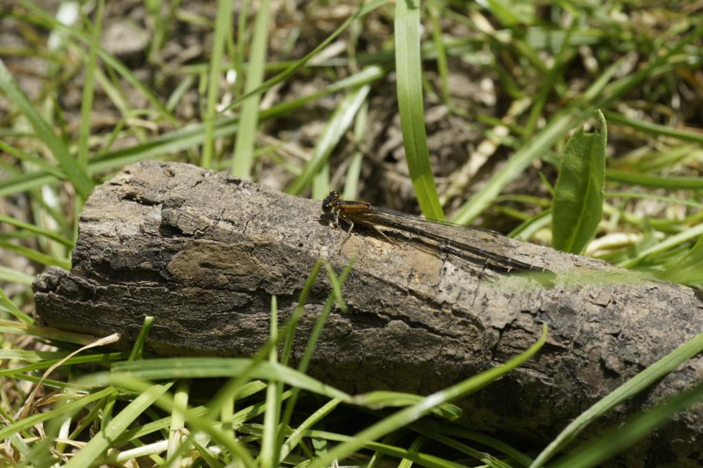 Les insectes des Yvelines  _dsc0212