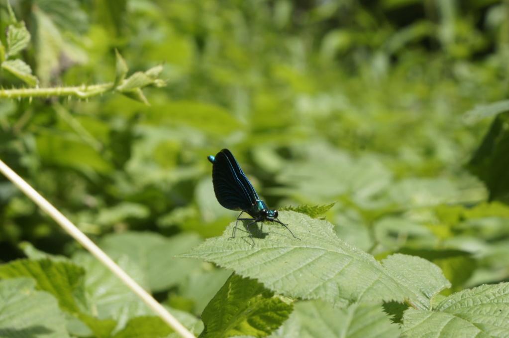 Les insectes des Yvelines  _dsc0213