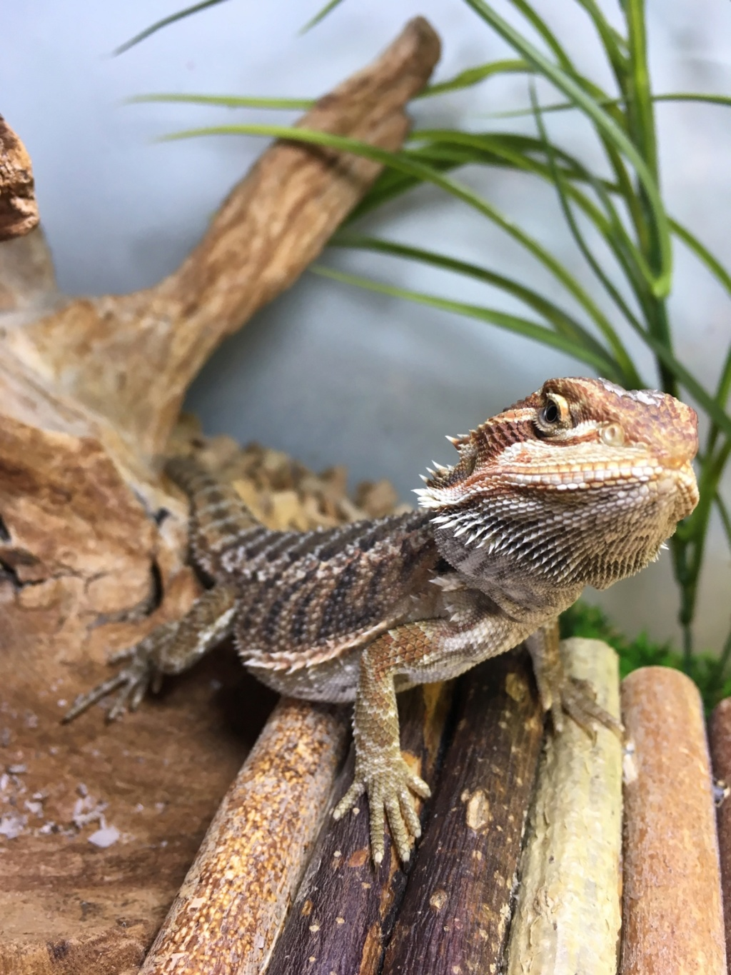 Question couleur de mon pogona  F9646910