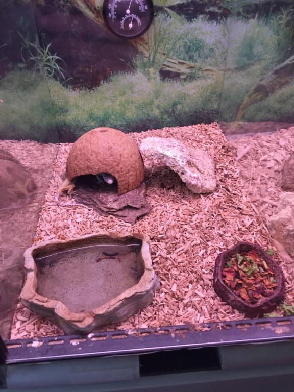 Gecko d'animalerie  Img_3511