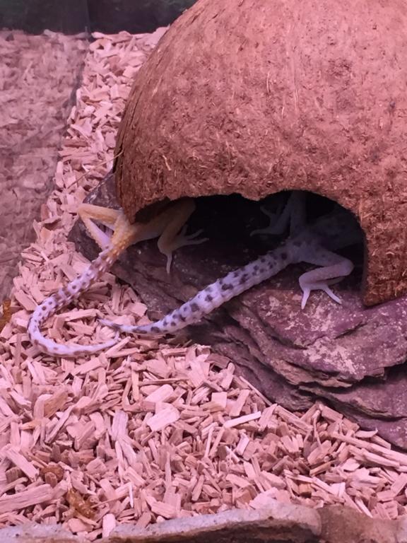Gecko d'animalerie  Img_3513