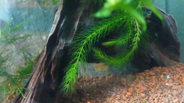 Mon projet aquarium low tech/aquascaping - Page 2 P1030210
