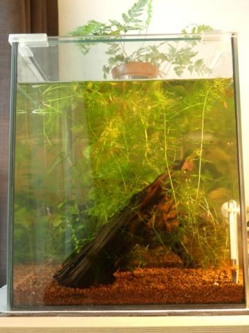 Mon projet aquarium low tech/aquascaping - Page 3 P1030512