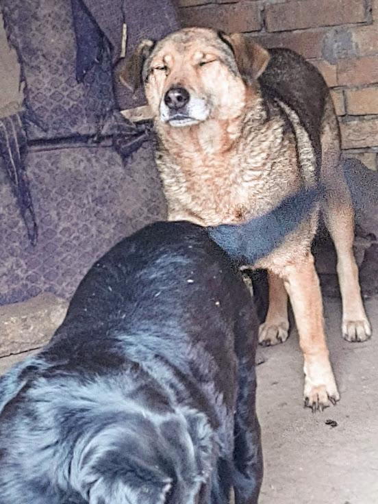 chaplin - CHAPLIN M-X, taille moyen env.30 kg, né 2009 (PENSION GORDANA) - URGENT PRET - RESERVE VAC ANIMA - Page 6 Chapli15