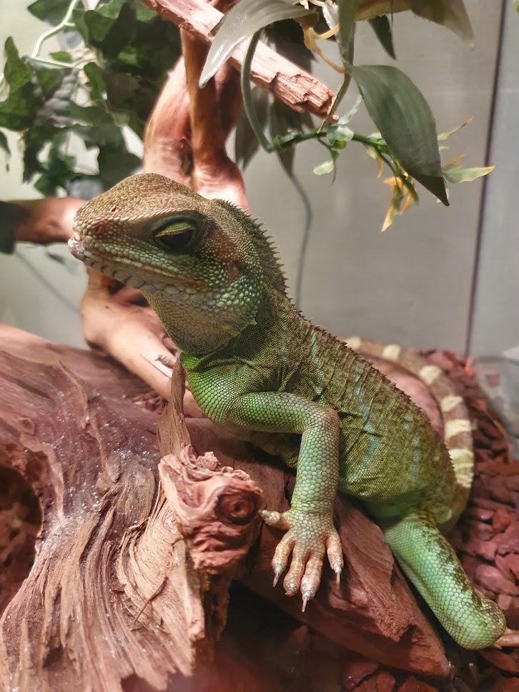 Dragon d'eau femelle ayant ses doigts recourbés Timhcv10
