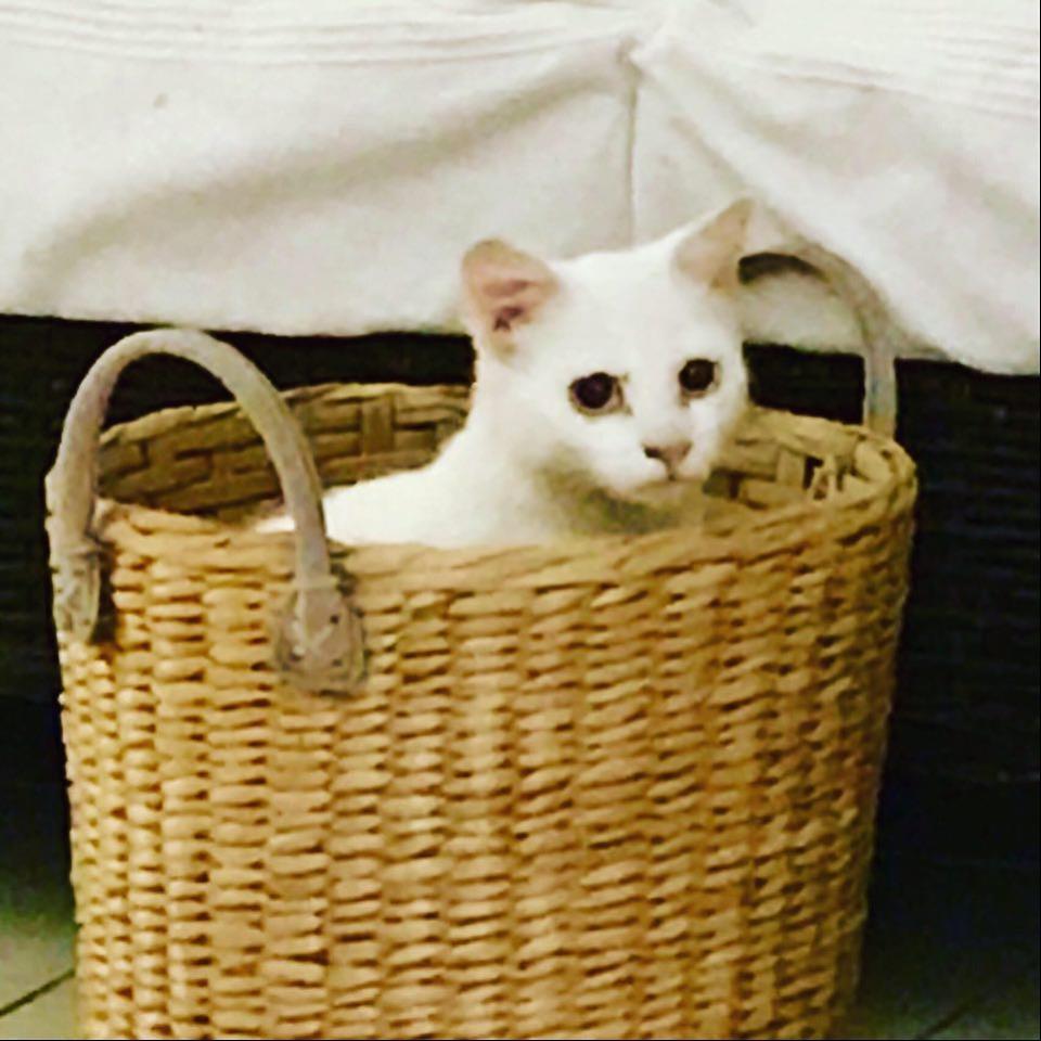JUNE, jeune chatte blanche aux yeux bleus de 4,5 mois environ 10432211