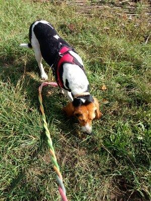 REINE (femelle croisée beagle)  2020_112