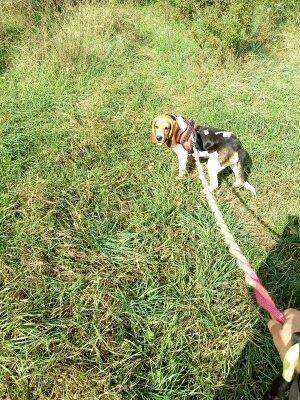 REINE (femelle croisée beagle)  2020_113