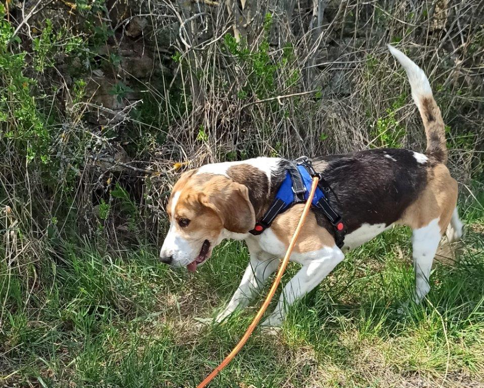 GOMETTE  (femelle croise beagle) G312