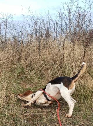 REINE (femelle croisée beagle)  Img_2033