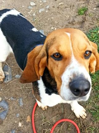REINE (femelle croisée beagle)  Img_2034
