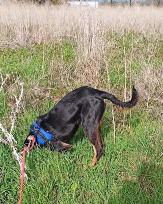 FALCO (chien croisé border) - Page 2 Img_2039
