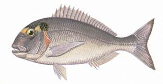ichthyonymie bretonne noms des poissons et coquillages etc - Page 3 33_stu12