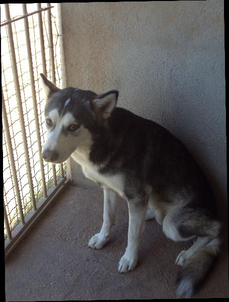 luciolle femelle husky plus de 8 ans ( 80) 01_fem11