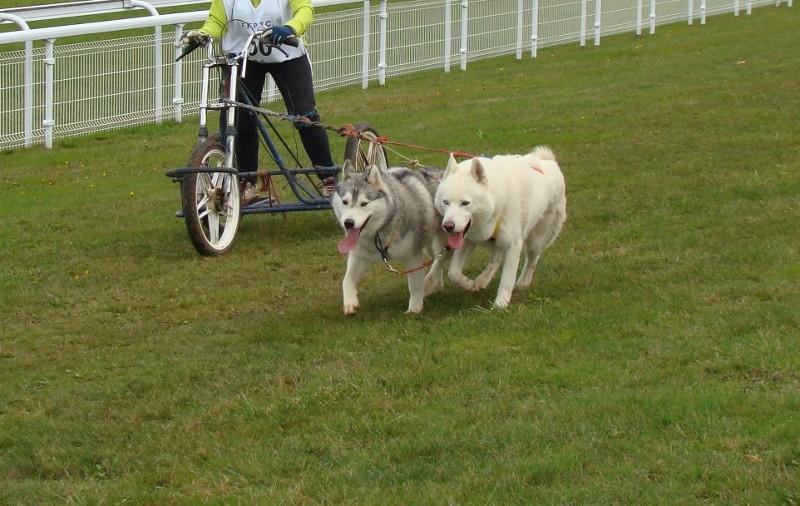 Attelage 2 chiens perdu à CUVERY (01) RETROUVES Attela11