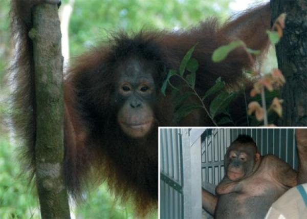 Pour PONY, femelle orang-outan qui a connu l'enfer de la prostitution ! Pony10