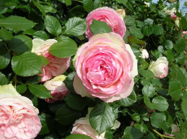 Quel est le nom de ce rosier? Dscn8522