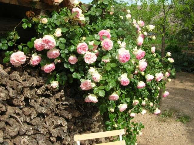 Quel est le nom de ce rosier? Dscn8523