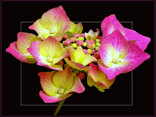 Fleurs ... tout simplement - Page 3 Horten10
