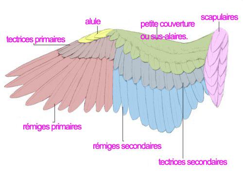 Ailes taillées, la repousse Anatom10